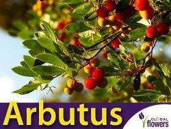 Drzewko truskawkowe (Arbutus Unedo) 0,1g
