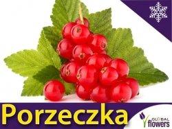 Porzeczka czerwona 'Rovada' krzaczasta (Ribes rubrum) Doniczkowana Sadzonka