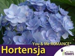 Hortensja ogrodowa You & Me ROMANCE® BLUE (Hydrangea macrophylla) Sadzonka C3