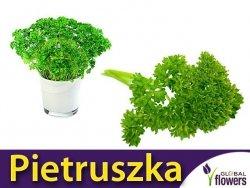 Pietruszka naciowa 'Festival 68' (Petroselinum crispum) 5g