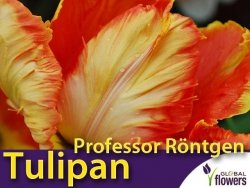 Tulipan Papuzi 'Professor Röntgen' (Tulipa) CEBULKI 4 szt