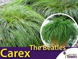 Turzyca Wiosenna The Beatles (Carex caryophylle) Sadzonka