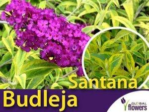 Budleja davidii SANTANA (Buddleja davidii) Sadzonka C1/C2