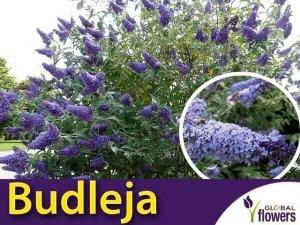 Budleja niebieska 'Lochinch' (Buddleja davidii) Sadzonka