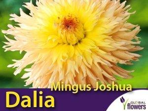 Dalia strzępiasta wysoka 'Mingus Joshua' (Dahlia x cultorum) Kłącza