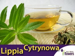 NOWOŚĆ Lippia trójlistna (Aloysia citrodora) Werbena cytrynowa Sadzonka