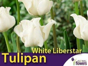 Tulipan Triumph 'White Liberstar' (Tulipa) CEBULKI 4 szt