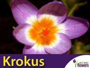 Krokus 'Tricolor' (Crocus sieberi) CEBULKI 10 szt.
