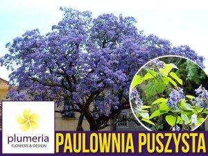 Paulownia Puszysta - Cesarskie Drzewko Szczęscia (Paulownia Tomentosa) Sadzonka P9/C1