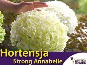 Hortensja drzewiasta 'Strong Annabelle' (Hydrangea arborescens) sadzonka