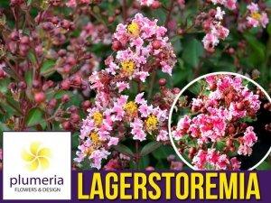 Lagerstroemia BERLINGOT MENTHE kwitnie 120 dni (Lagerstroemia indica) Sadzonka C1/C2