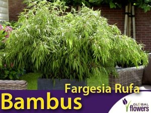 Bambus Mrozoodporny FARGESIA RDZAWA (Fargesia rufa) Sadzonka C2,5