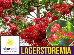 Lagerstroemia RUBRA MAGNIFICA kwitnie 120 dni (Lagerstroemia indica) Sadzonka P9