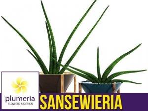 Sansewieria cylindryczna FERNWOOD (Sansevieria) Roślina domowa. Sadzonka P12 - M