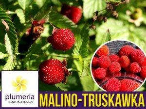 Malino-truskawka (Rubus illecebrosus) Sadzonka C1
