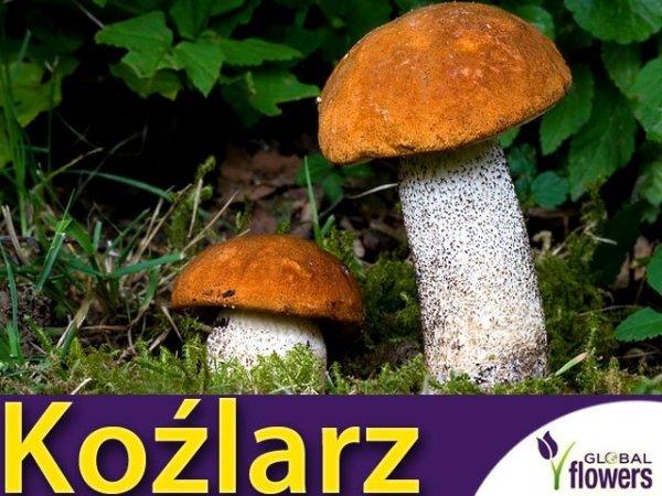 Grzybnia Koźlarz pomarańczowożółty Leccinum versipelle ziarno 10g