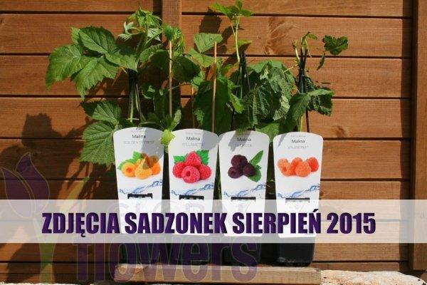 Rubus idaeus, polska odmiana maliny
