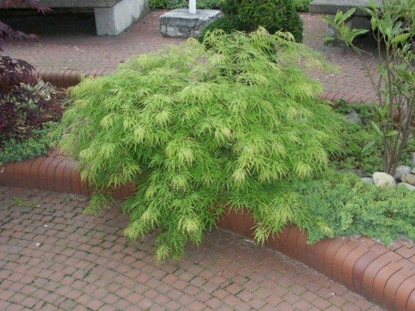 Acer palmatum var.dissectum viride cena