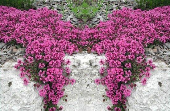 Macierzanka piaskowa (Thymus serpyllum) lilaróżowa