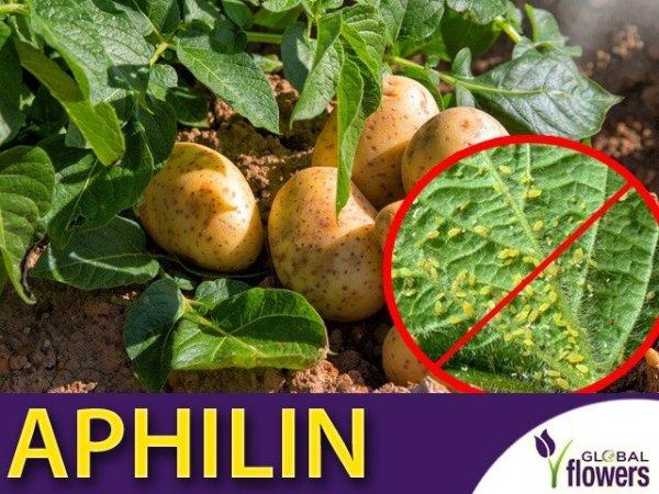 Aphilin, mszyce na ziemniakach
