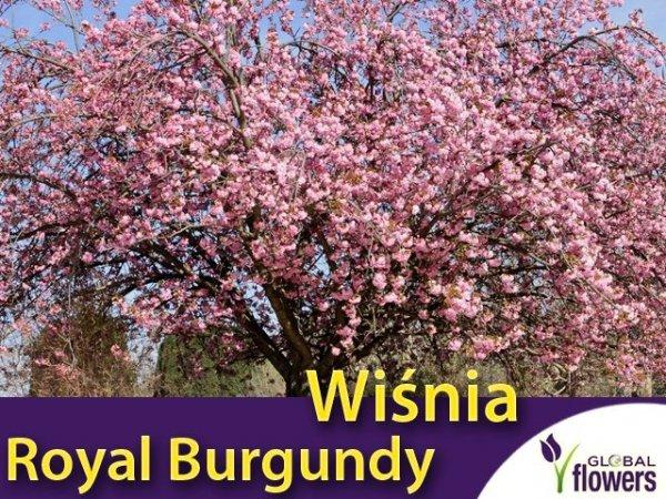 Wiśnia Piłkowana 'Royal Burgundy' Sadzonka - (Prunus serrulata)