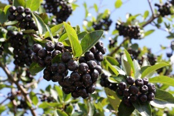 arodnia na nalewki, zdrowe owoc aronii