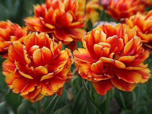 pełne tulipany cebulki