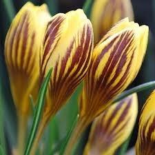 Żółty krokus ozdobiony smugami