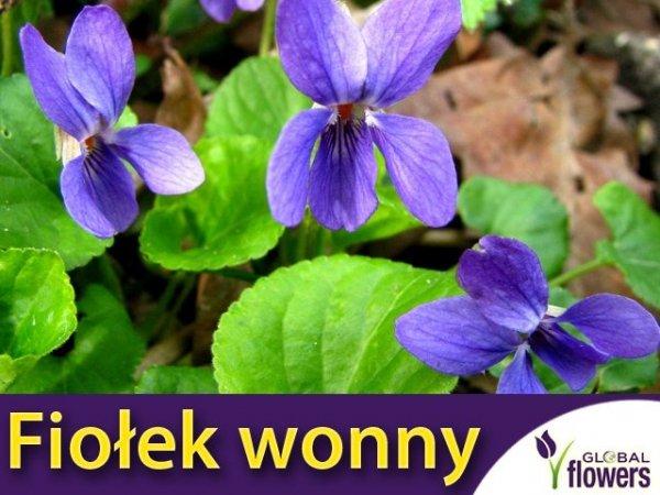 Fiołek Wonny Fioletowy (Viola odorata)
