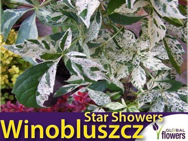 Winobluszcz pięciolistkowy STAR SHOWERS 'Monham' Sadzonka