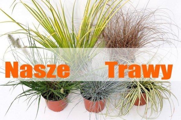Kolorowe trawy odmiany