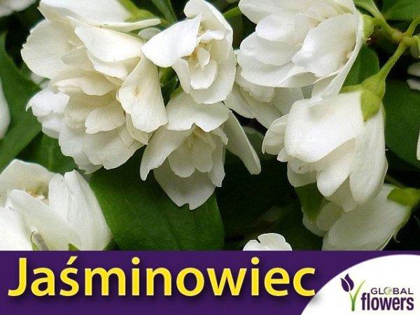 Jaśminowiec 'Manteau d'Hermine' (Philadelphus) Sadzonka