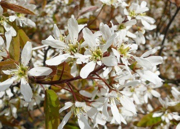 (Amelanchier alnifolia) Sadzonka