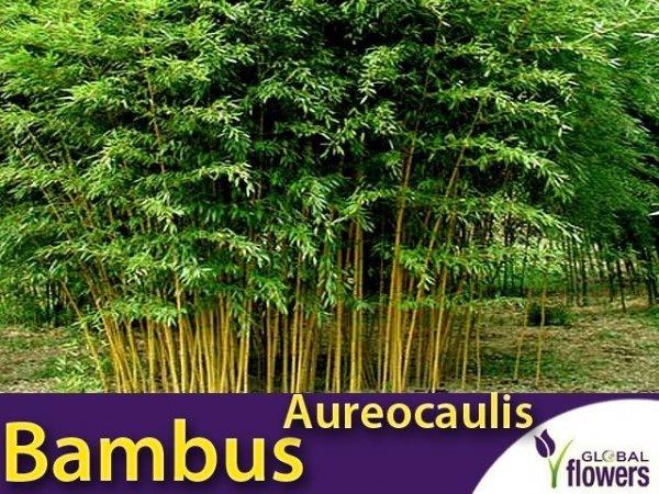 Żółty Bambus Drzewiasty Aureocaulis