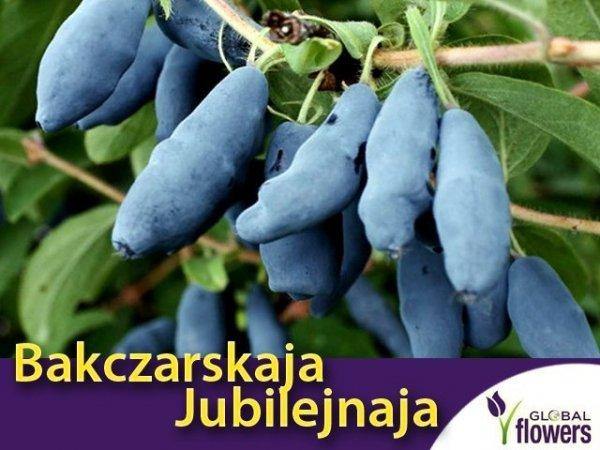 Jagoda Kamczacka Bakczarskaja Jubilejnaja sadzonka