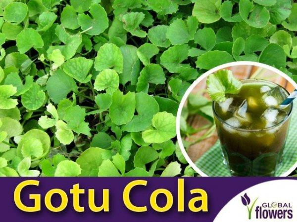 Wąkrota azjatycka 'Gotu Cola' (Centella asiatica) Sadzonka