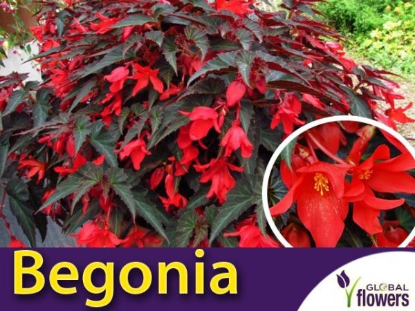 Begonia zwisająca 'Dark Elegance' (Begonia) Sadzonka