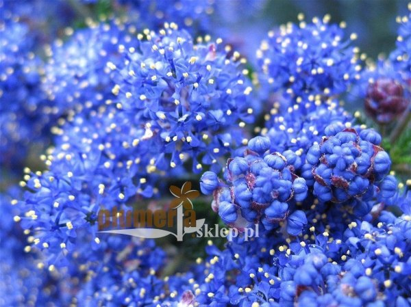 Prusznik niebieski w ogrodzie
