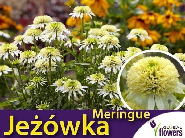 echinacea meringue sadzonka