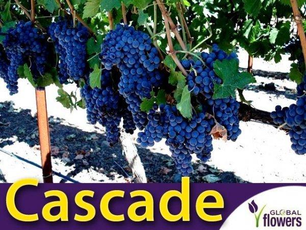 Winorośl Cascade Sadzonka - odmiana przerobowa Vitis 'Cascade'
