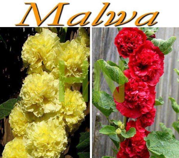 Żółte i czerwone malwy