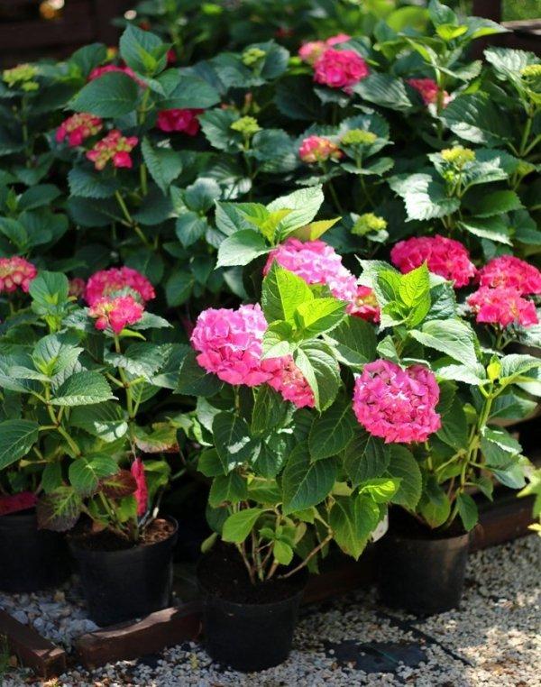 Hortensja o czerwonych kwiatach, pielęgnacja i uprawa