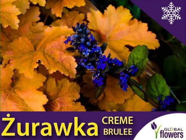Żurawka 'Creme Brulee' (Heuchera) Sadzonka