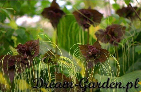 Tacca Chantrieri - cudowne kwiaty