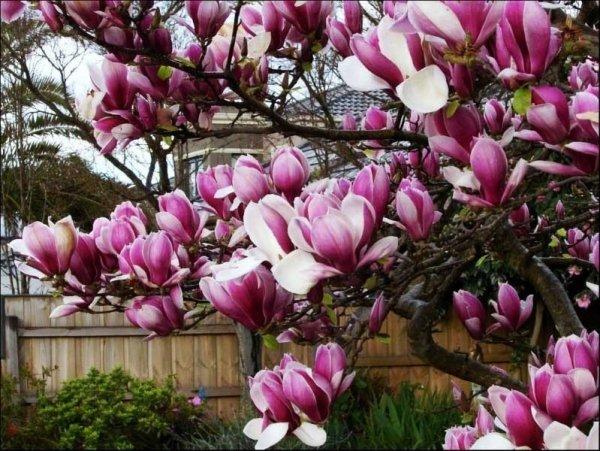 magnolia uprawa przycinanie
