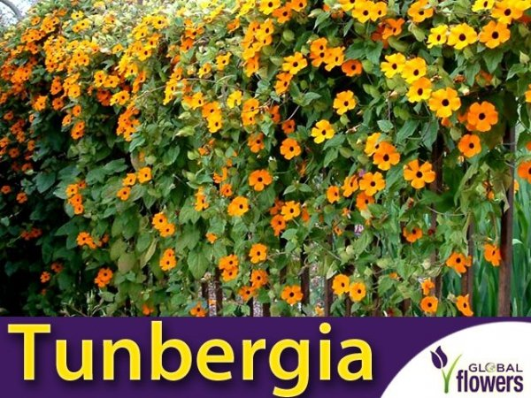 Tunbergia, mieszanka