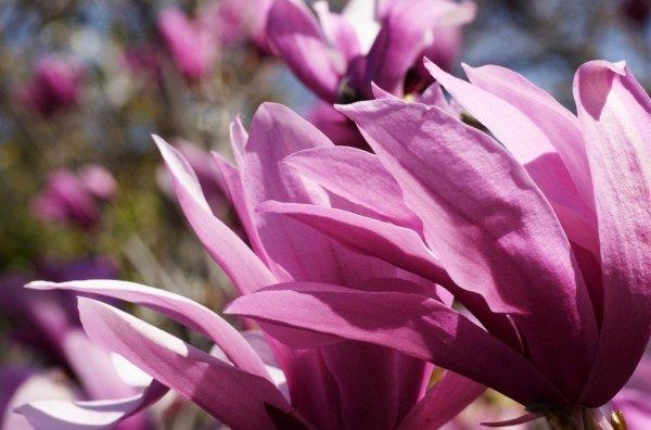 Pielęgnacja magnolii: Podstawowe informacje