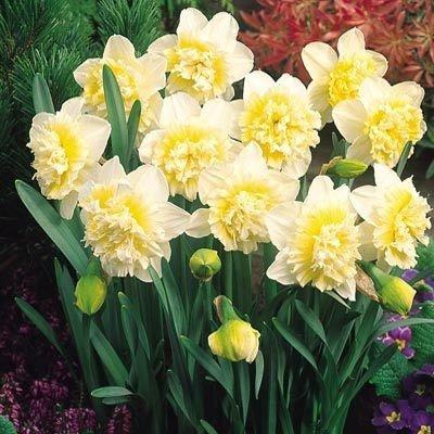 Narcyz pełny 'Ice King' (Narcissus) CEBULKI