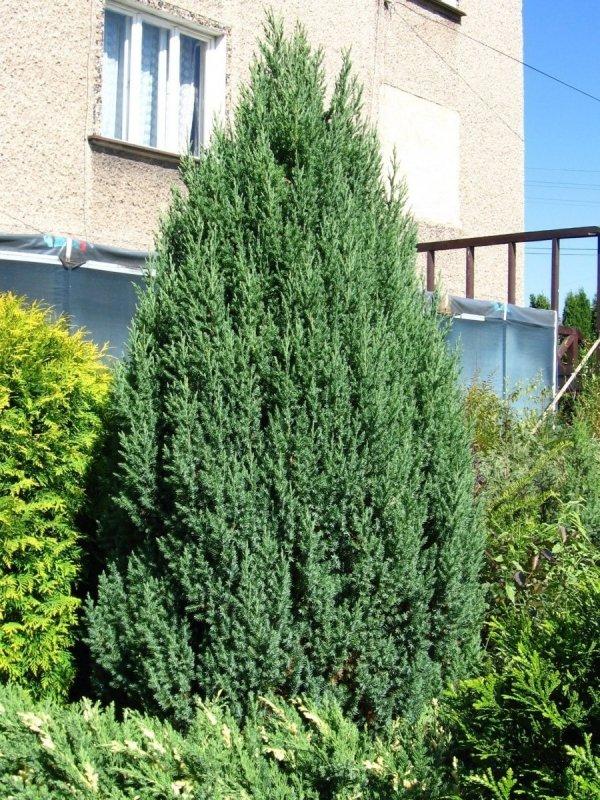 (Juniperus chinensis) Sadzonka