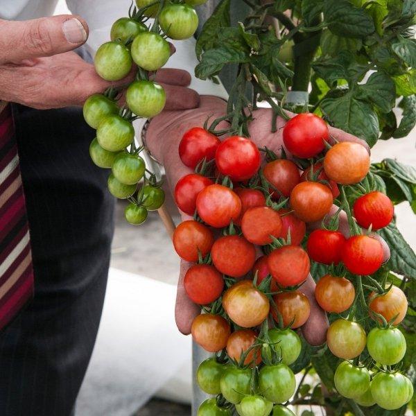 Solanum lycopersicum, Solanum tuberosum